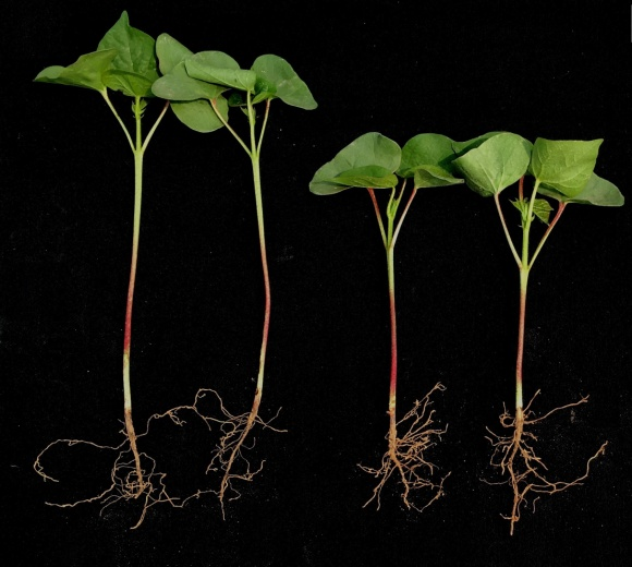 Plantlet obtained from single seed sowing are shorter, stronger and have a more rooting system